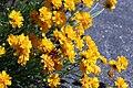 Coreopsis grandiflora IMG 3223--.jpg