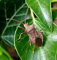 Coreus marginatus. - Flickr - gailhampshire (1).jpg