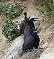 Cormorant nest (34305829734).jpg