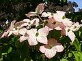 Cornus kousa 'Satomi' - VanDusen Botanical Garden - Vancouver, BC - DSC06750c.jpg
