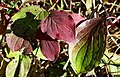 Cornus sanguinea. Cornapuya (fueyas serondiegas).jpg