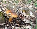 Cortinarius sp. (pholideus^) - Flickr - gailhampshire.jpg