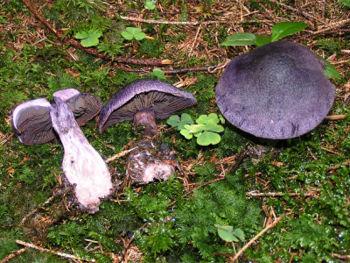 Cortinarius violaceus 01.jpg