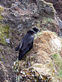 Corvus corax 3.jpg