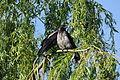 Corvus cornix (19132576483).jpg