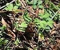 Corydalis intermedia 1.jpg
