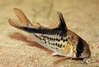 <i>Corydoras loxozonus</i> species of catfish