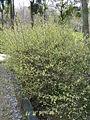 Corylopsis pauciflora2.jpg