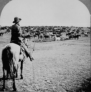 Cattle drive - Cattle herd and cowboy, circa 1902