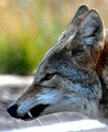 Coyote expressions - submissive play face.png