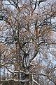 Crack willow Lodz(Poland)(js).07.jpg