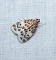 Crambid moth (22771111842).jpg