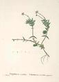 Crassula acutifolia.png