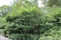 Crataegus monogyna at Second Verkhny Mikhaylovsky Passage 03.jpg
