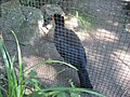 Crax blumenbachii in Burgers' Zoo (Park) (3).JPG