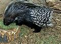 Crested Porcupine.jpg