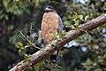 Crested serpent eagle (Spilornis cheela).jpg