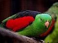 Crisom winged parrot. (Aprosmictus erythropterus), (8065423579).jpg