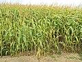 Crop near Mold, Flintshire.JPG