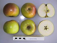 Cross section of Cartaut, National Fruit Collection (acc. 1949-144).jpg