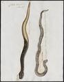 Crotalus durissus - 1700-1880 - Print - Iconographia Zoologica - Special Collections University of Amsterdam - UBA01 IZ11700029.tif