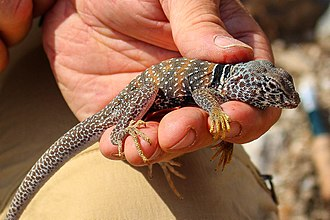 Great Basin collared lizard - Held by human hand