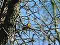 Crvendać, mužjak (Erithacus rubecula); European Robin male.jpg