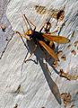 Cryptocheilus bicolor - Sydney 4.jpg