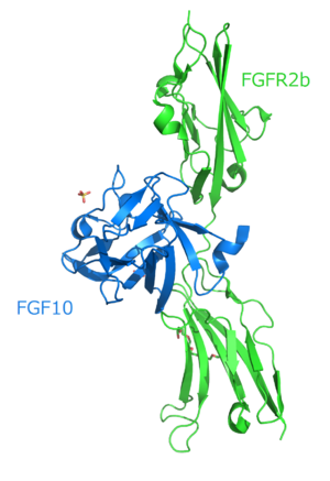 Fibroblast growth factor - Crystal structure analysis of the FGF10-FGFR2b complex