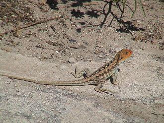 Ctenophorus pictus - Ctenophorus pictus, painted dragon