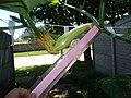 Cucurbita moschata (zapallo espontáneo) flor fruto femenina F05 dia02 orientación pétalos marchitándose inserción ovario en pedúnculo regla.JPG