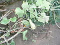 Cucurbita moschata (zapallo espontáneo) fruto F05 dia14.JPG