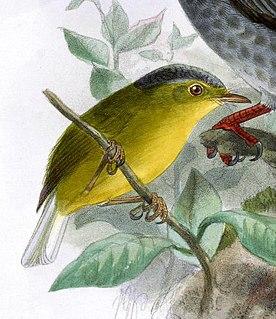 Grey-crowned warbler species of bird