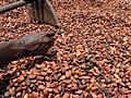 Cultivateur de cacao 03.jpg