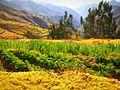 Cultivos en Ayaviri Yauyos.jpg