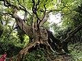 Curinga albero monumentale platano millenario di Vrisi.jpg