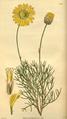 Curtis's Botanical Magazine, Plate 3042 (Volume 58, 1831).png