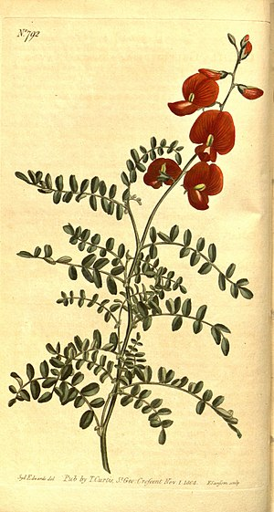 Locoweed - Swainsona galegifolia