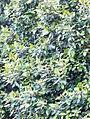 Curtisia dentata - hedge 45.JPG