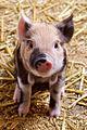 Cute Piglet.jpg