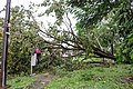 Cyclone Marcus in Darwin – Uprooted tree in Stuart Park 04.jpg