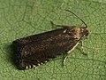Cydia nigricana - Pea moth - Плодожорка гороховая (39472031010).jpg