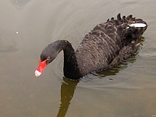 Black swan, via wikipedia