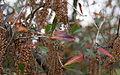 Cyrilla racemiflora — romana klee 001.jpg