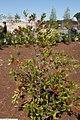 Cyrilla racemiflora 17zz.jpg
