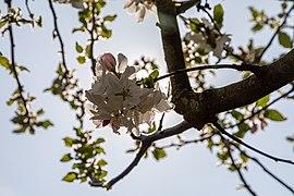 Dülmen, Hausdülmen, Blüten der Dülmener Rose -- 2020 -- 6574.jpg