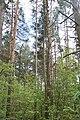DSC 7031 Bacieczkowski Forest in Białystok.jpg