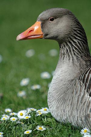 Neck - Image: Daisy Goose II (9671096)