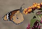 Danaus chrysippus - African monarch 02-14.jpg
