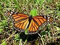 Danaus plexippus (Nymphalidae) - (imago), Lamoille (VT), United States.jpg